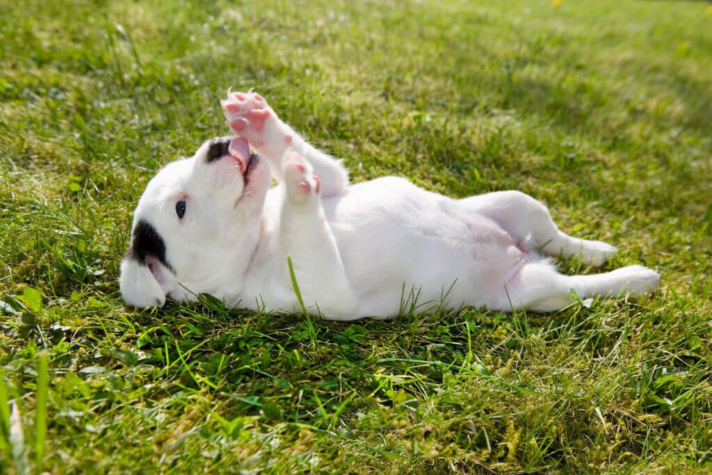 dog-licking-paws