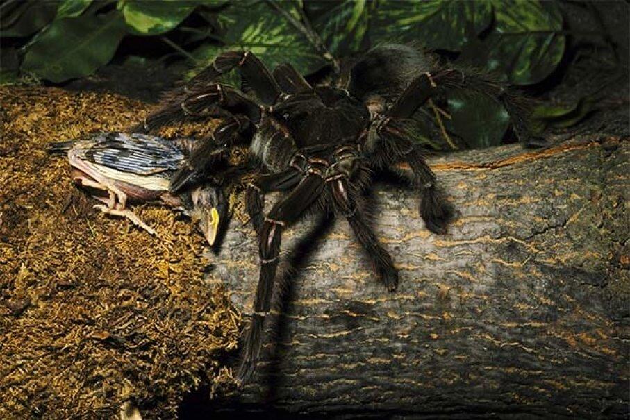 goliath-spider-71918-21727.jpg