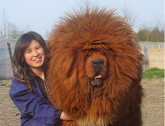 mastiff-51441.jpg