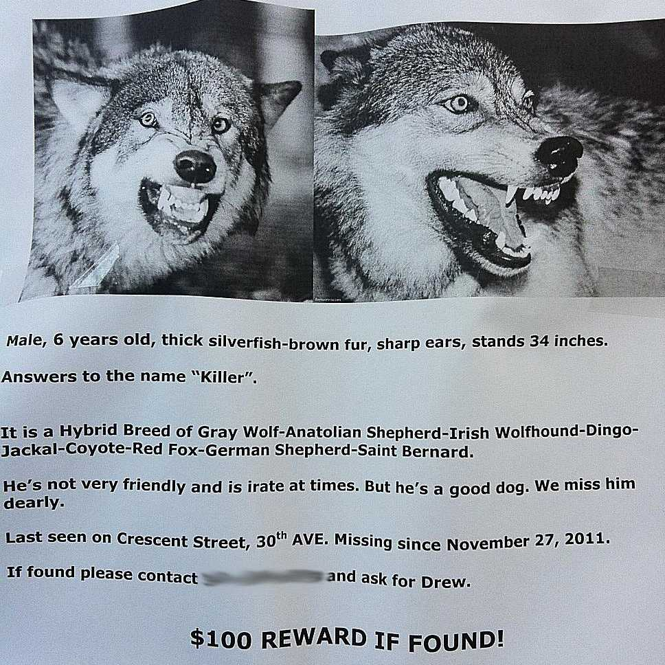 Killer the wolf is missing
