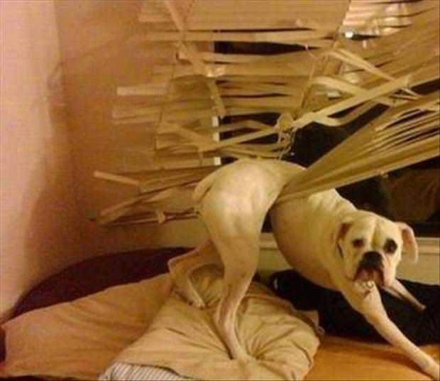 a dog stuck in blinds