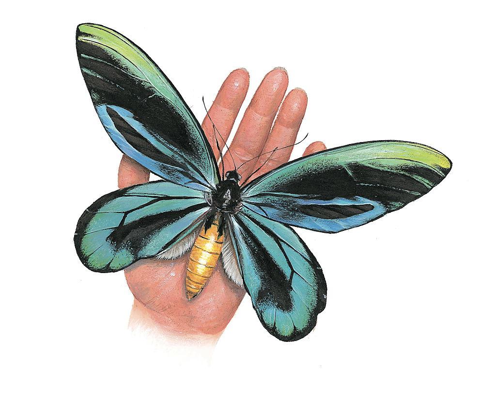 Queen Alexandra's birdwing resting on a hand.