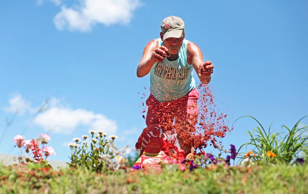 A man sprinkles mulch over a garden.