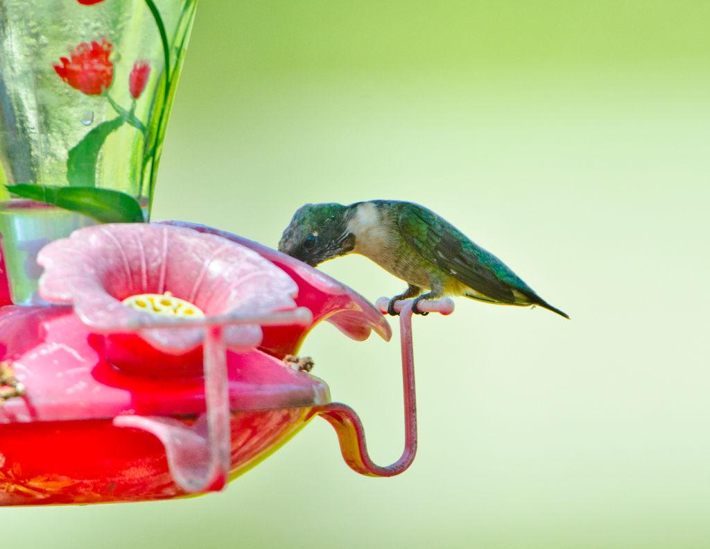 No Hummingbird Feeders