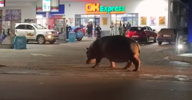 hippo wanders through gas station