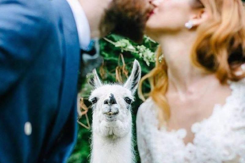 I Now Pronounce You Llama And Llama