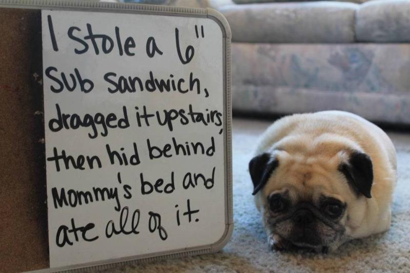 guilty-pug