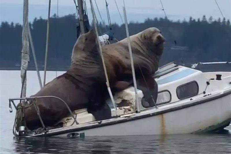 Two-Gigantic-Sea-Lions-Borrow-Someones-Boat-And-The-Video-Is-Ridiculous-Bored-Panda-64587