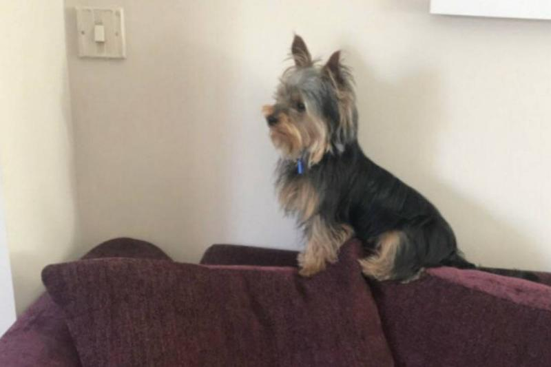 A dog waits on the couch for kids to come home from school.