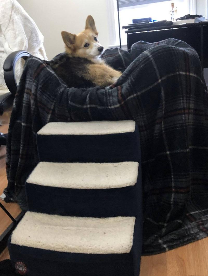 A Corgi sits on a chair that has stairs leading up to it.
