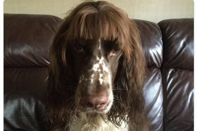 A dog wears a brown wig.