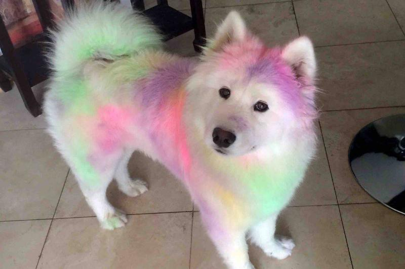 A white dog is covered in a variety of colored chalk.