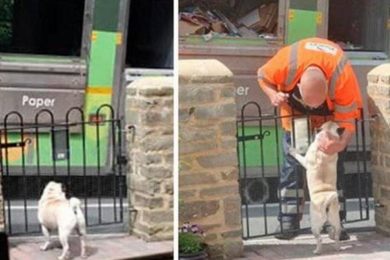 A pug waits for a trash truck driver to stop by and pet him.