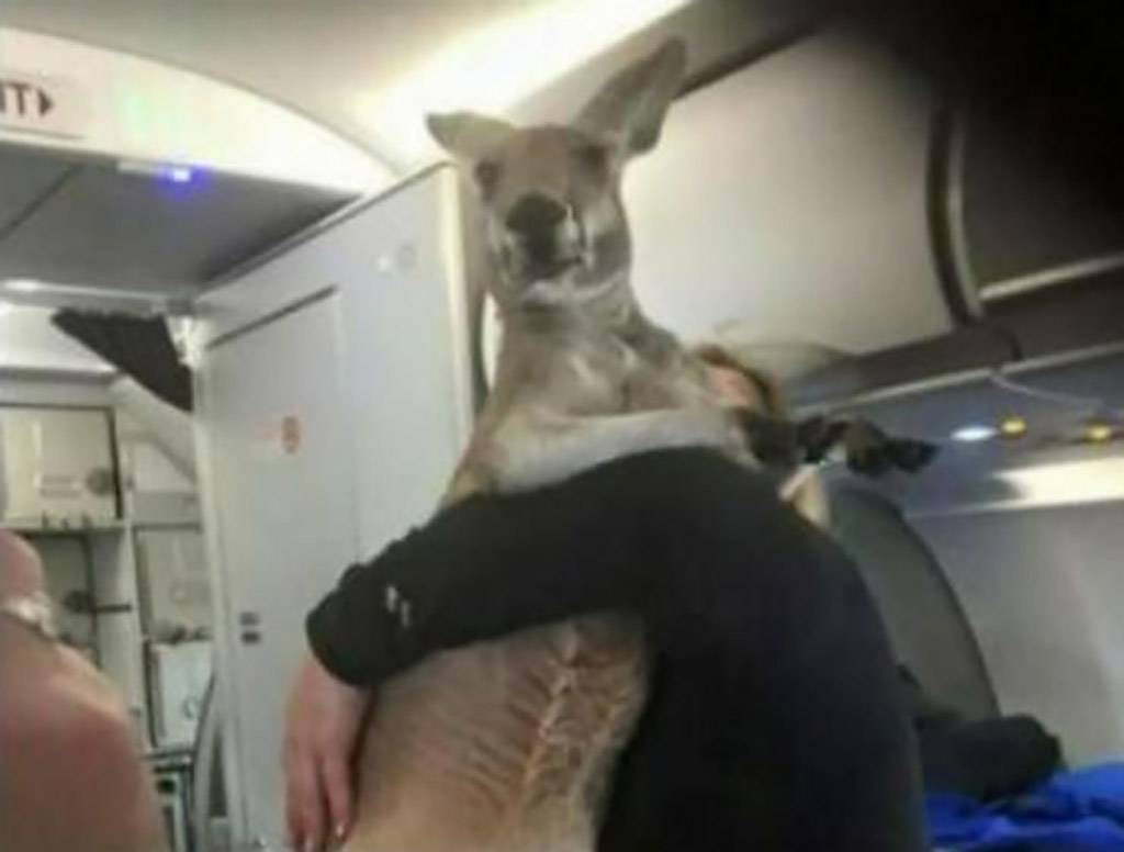 Kangaroo on airplane