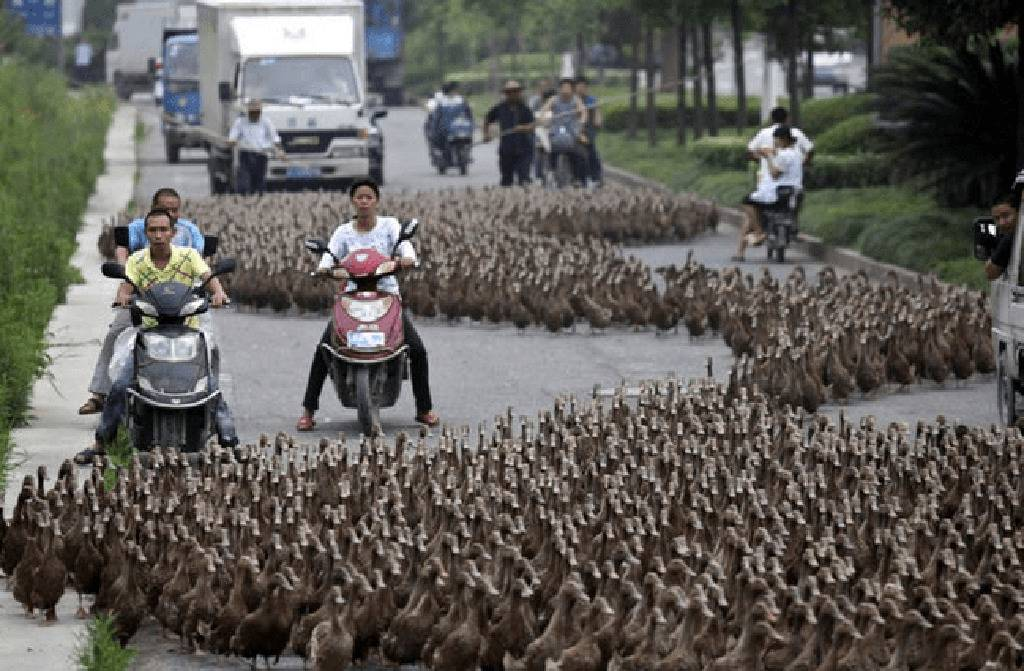 Picture of ducks